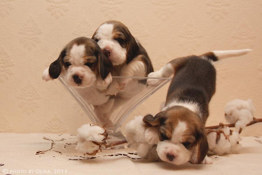 Выбирая щенка, выбираем заводчика