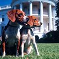 Президент США Линдон Джонсон держал пару биглей, которых звали Он и Она