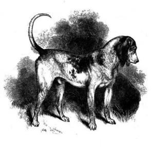 Южная гончая, предок современного бигля