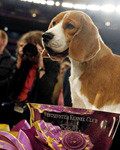 В 2008 г. главную выставку Америки «Westminster Kennel Club» выиграл бигль по кличке Уно - Ch. K-Run's Park Me in First)