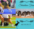 Щенки бигля в п-ке STARDRIVE TEAM, 06.06.2015