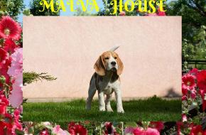 питомник биглей MAL'VA HOUSE
