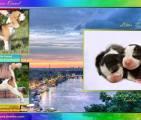 Щенки бигля в п-ке ALPINE FLOWERS, 29.10.2015