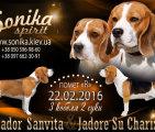 Щенки бигля в п-ке Sonika Spirit, 22.02.2016