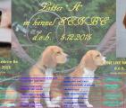 Щенки бигля в п-ке SEN-BE, 5.12.2015
