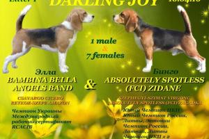 Щенки бигля в п-ке DARLING JOY, 16.04.2016