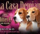 Щенки бигля в п-ке LA CASA DEMIANI, 20.10.2016