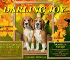 Щенки бигля в п-ке DARLING JOY, 24.11.2016