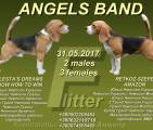 Щенки бигля в п-ке ANGELS BAND, 31.05.2017