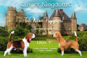 Щенки бигля в п-ке GINGER KINGDOM, 21.09.2017