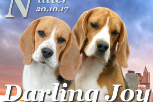 Щенки бигля в п-ке DARLING JOY, 20.10.2017
