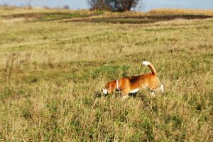lost-beagle-1