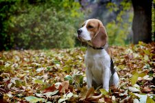 image beagles_241010_13-jpg