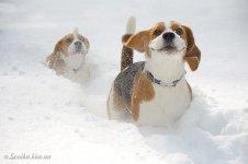 image beagle-smile-002-jpg