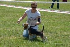 image beagle01-jpg