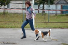 image beagle_jadore-zhit-bob-01-jpg